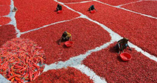 Chars of Jamuna in Sariakandi upazila of Bogra are now reddish in color with ripe chilies