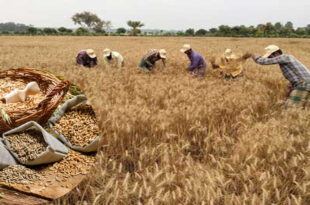 Farmers are happy with the wheat crop as it is harvested in Rajshahi