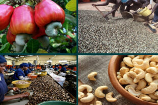 Guinea-Bissau Cashew Farmgate is priced at 65 cents per kg