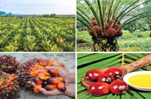 Sri Lanka bans palm oil imports urges producers to uproot plants