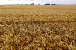 Second bumper yield of Australian wheat due to favorable weather