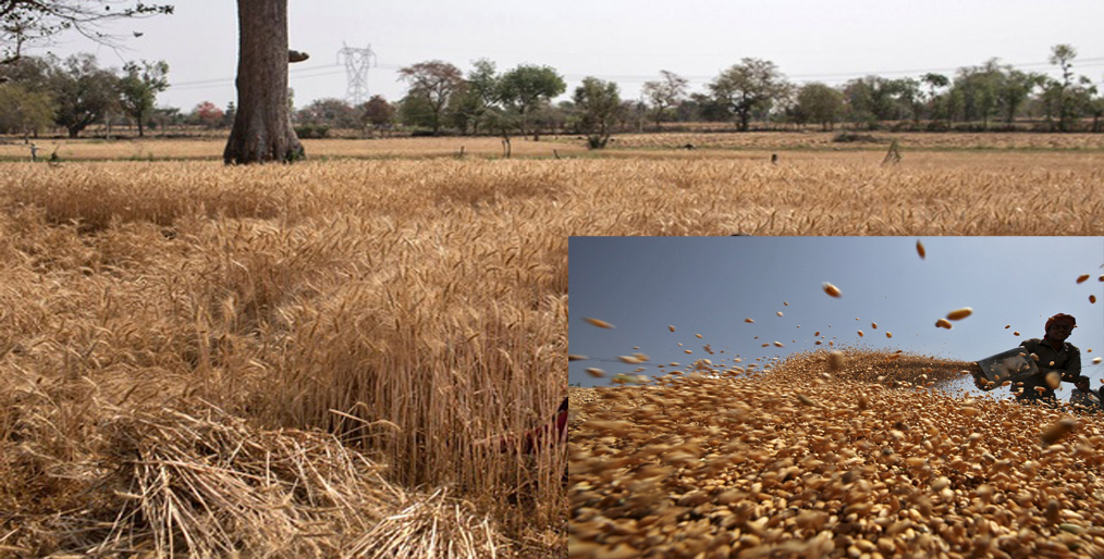 COVID-19 Despite the chaos and protests, Indian farmers have recorded wheat yields