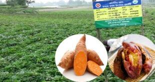 This time Bangladesh's sweet potato will be exported to Japan