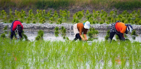 Prohibit rice cultivation in most provinces of Iran or face consequences