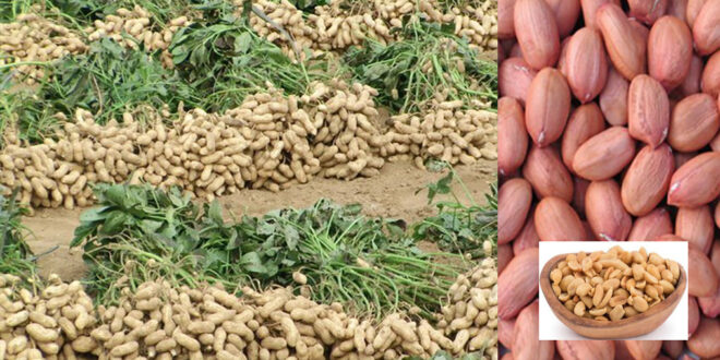 Possibility of bumper yield of peanuts /groundnet in Rangpur