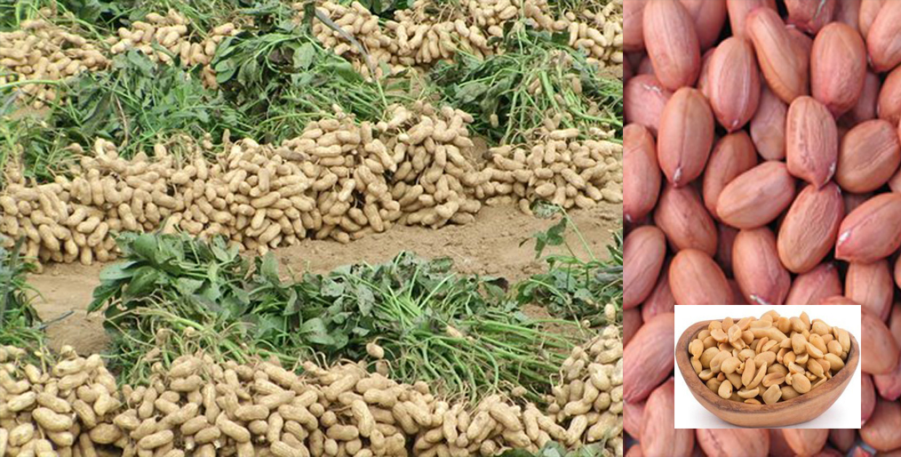 Possibility of bumper yield of peanuts /ground net in Rangpur