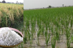 Transfer nursery of Basmati variety to get good yield in time