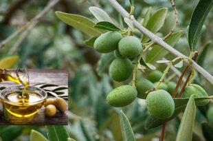 A Spanish study suggests a more effective way to convert cold-stored olives