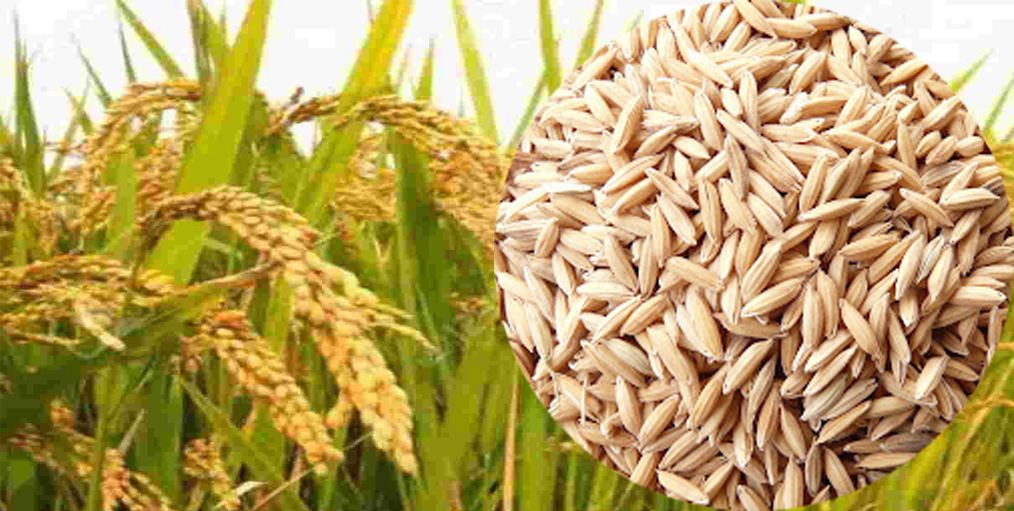 Bangladesh Rice Research Institute (BRRI) has projected 42 lakh tonnes of rice surplus in 2030