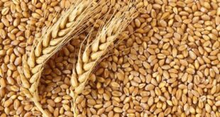 Durum prices are still strong after the harvest